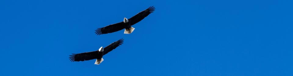 Pair of Bald Eagles Soar over Parksville Bay